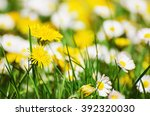 dandelion yellow flowers and... | Shutterstock . vector #392320030