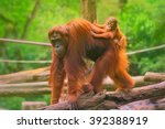 Stock photo young orangutan is sleeping on its mother 392388919