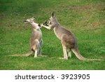 Two Kangaroos Boxing