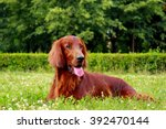 Red Dog Irish Setter In Summer...