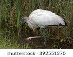 Wood Stork    Mycteria...