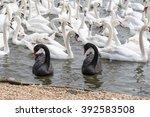 Black Swans Two Amongst White...
