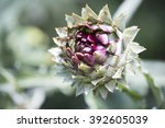 The Globe Artichoke  Cynara...