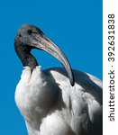 Small photo of African Sacred Ibis (Thresk iornis aethiopicus) South Africa