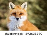 red fox   vulpes vulpes ... | Shutterstock . vector #392638390