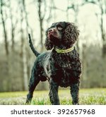 Small photo of American Water Spaniel
