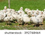 geese gaggle grazing on green... | Shutterstock . vector #392768464