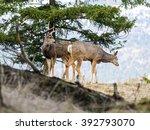 buck and doe mule deer | Shutterstock . vector #392793070