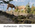 buck and doe mule deer nuzzling | Shutterstock . vector #392793088