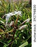 Small photo of Wild white flowers of Amaryllidaceae family