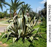 Small photo of Agave americana in Ramat Gan Park, Israel