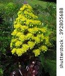 Small photo of golden aeonium (Aeonium arboreum)