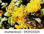 shrubs of yellow mahonia flowers | Shutterstock . vector #392923324