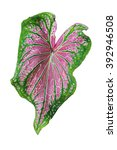 Pattern Of Leaves  Caladium...