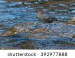 Small photo of American Dipper standing on a rock in the river.