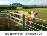Cattle At A Gate