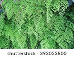 Small photo of Adiantum raddianum