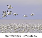 Beautiful Snow Goose Group In...