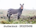 A Mountain Zebra In Mist...