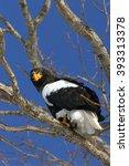 steller's sea eagle of shiretoko | Shutterstock . vector #393313378