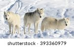 Pack Of Arctic Wolves