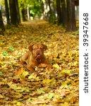 Mastiff From Bordeaux In Autumn ...