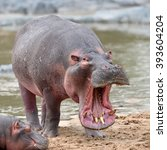 common hippopotamus in the... | Shutterstock . vector #393604204