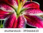 Asiatic Lily Or Tiger Lily Thi...