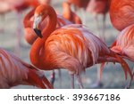 Flock Of Pink Caribbean...