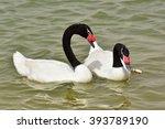 Black Necked Swan