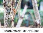 cicada shell husk of cicada on... | Shutterstock . vector #393943600
