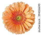 beige gerbera on a white... | Shutterstock . vector #394036690