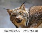 iberian lynx   Shutterstock . vector #394075150