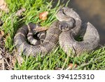 Northern Pacific Rattlesnake  ...