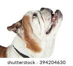 portrait of bulldog breed dog... | Shutterstock . vector #394204630