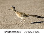 Greater Roadrunner Bird Runnin...