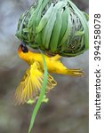 The Southern Masked Weaver Or...