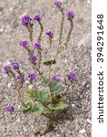 Small photo of Caltha-leaf Phacelia (Phacelia calthifolia) during the 2016 Super Bloom in Death Valley National Park.