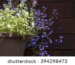 nepeta cataria  known as catnip ... | Shutterstock . vector #394298473