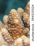 Small photo of Patterns and surface detail of (Acropora humilis) a type of staghorn coral on reefs. Red Sea, Egypt, June.