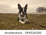 Stock photo boston terrier lies on grass with a toy boston terrier puppy 394526200