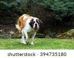 portrait of a nice st. bernard... | Shutterstock . vector #394735180