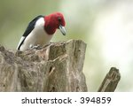 Red Headed Woodpecker Stores A...