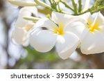 white plumeria tropical  flower ... | Shutterstock . vector #395039194