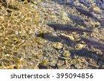 Salmon Swimming In River...