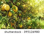 lemon tree | Shutterstock . vector #395126980