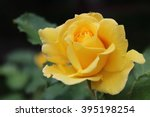 Yellow Roses Meaning Bright ...