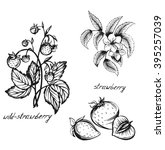 sketch of a strawberry flowers  ... | Shutterstock . vector #395257039