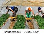manolada  ilia  greece   march...   Shutterstock . vector #395537224