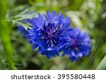 Blue Cornflower In The Garden